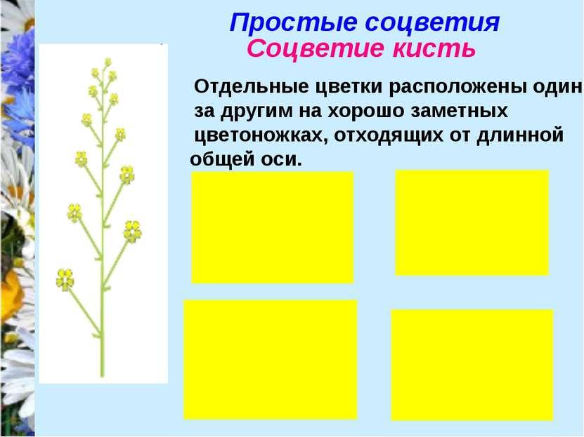 Простые соцветия Соцветие кисть Отдельные цветки расположены один за другим н...