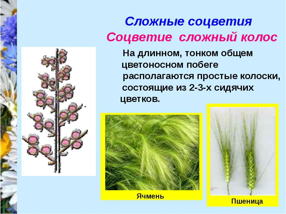 Сложные соцветия Соцветие сложный колос На длинном, тонком общем цветоносном ...