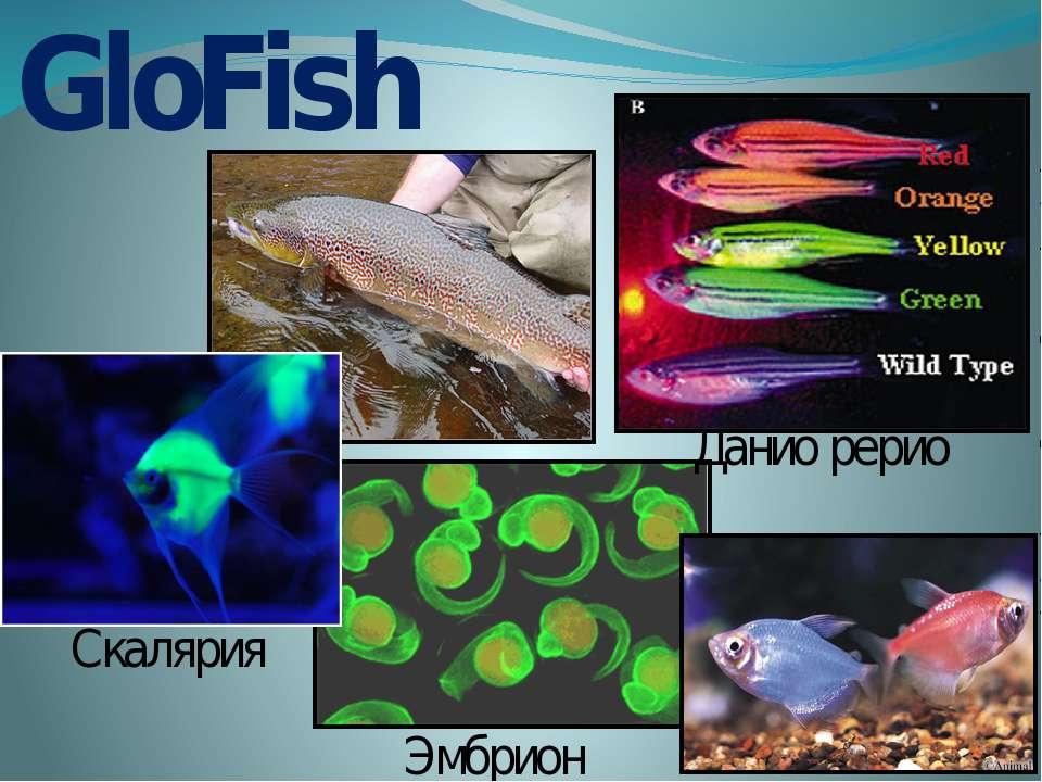 GloFish Данио рерио Эмбрион Скалярия