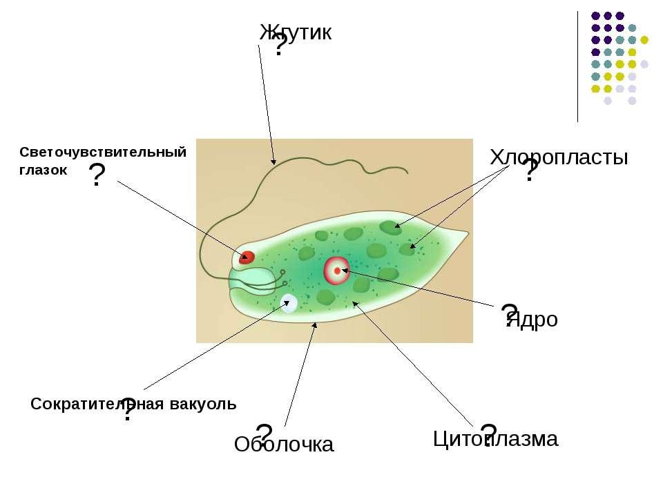 ? ? ? ? ? ? ? Оболочка Цитоплазма Ядро Хлоропласты Светочувствительный глазок...