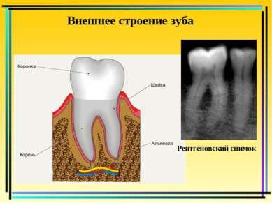 Внешнее строение зуба Рентгеновский снимок
