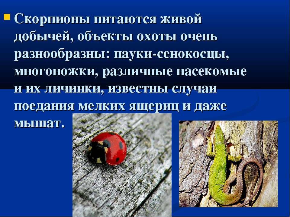 Скорпионы питаются живой добычей, объекты охоты очень разнообразны: пауки-сен...