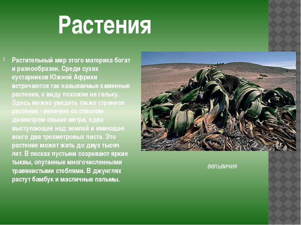 Растительный мир этого материка богат и разнообразен. Среди сухих кустарников...