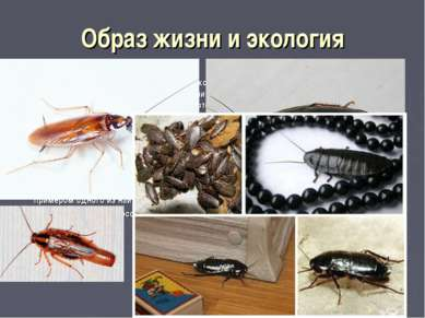 Образ жизни и экология Таракановые обычно являются ночными насекомыми: ночью ...