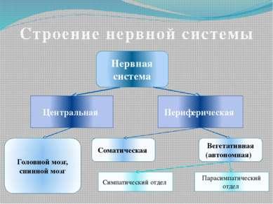Строение нервной системы Нервная система Центральная Периферическая Головной ...