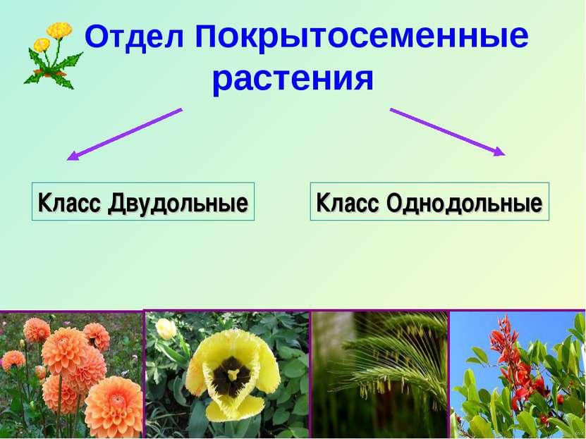 Отдел Покрытосеменные растения Класс Двудольные Класс Однодольные