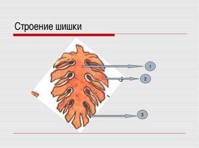 Строение шишки 1 2 3