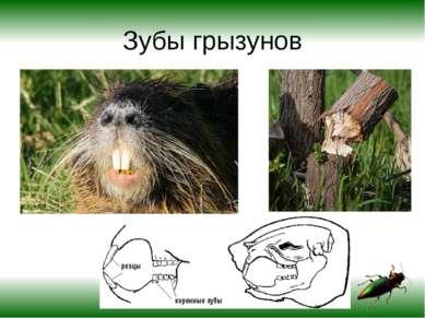 Зубы грызунов