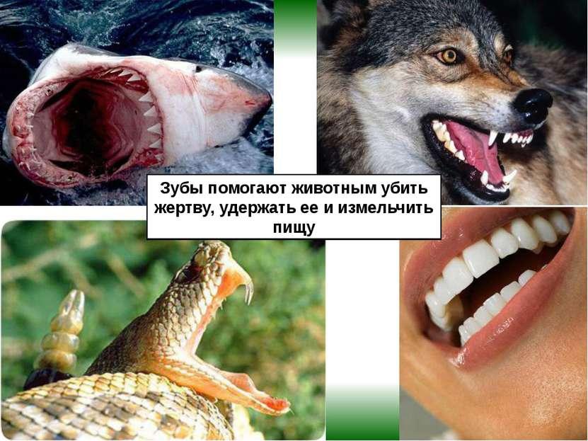 Зубы помогают животным убить жертву, удержать ее и измельчить пищу