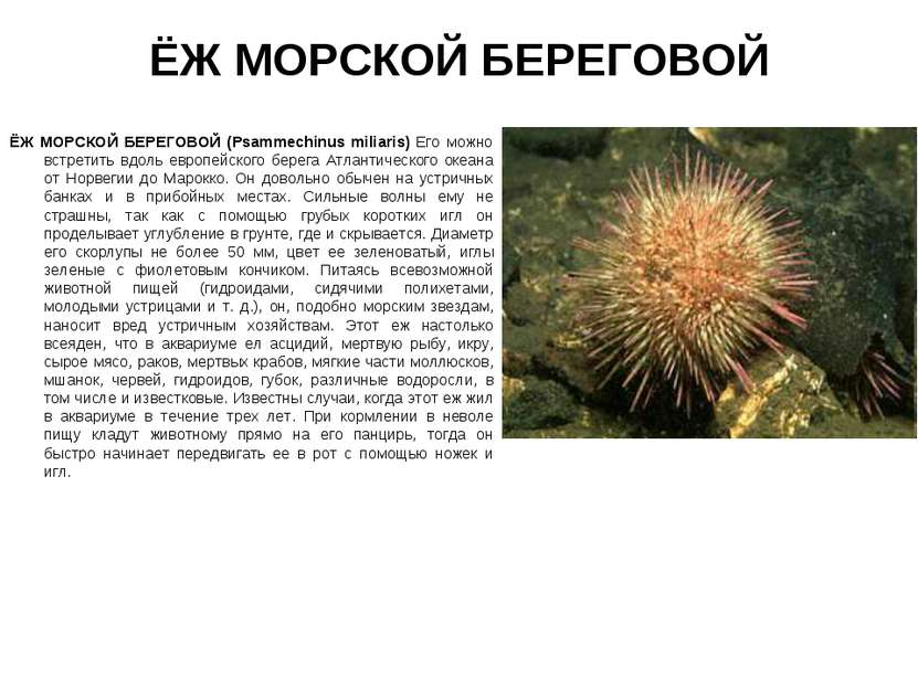 ЁЖ МОРСКОЙ БЕРЕГОВОЙ ЁЖ МОРСКОЙ БЕРЕГОВОЙ (Psammechinus miliaris) Его можно в...