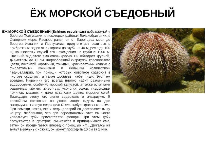 ЁЖ МОРСКОЙ СЪЕДОБНЫЙ ЁЖ МОРСКОЙ СЪЕДОБНЫЙ (Echinus esсulentus) добываемый у б...