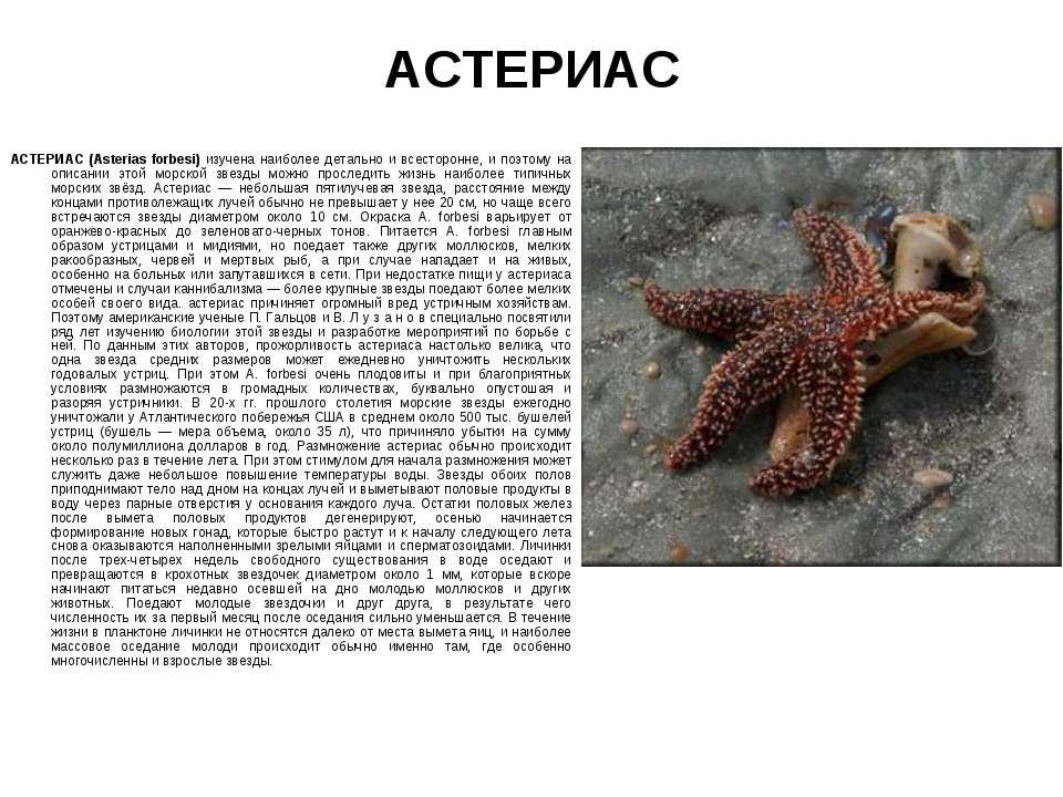 АСТЕРИАС АСТЕРИАС (Asterias forbesi) изучена наиболее детально и всесторонне,...