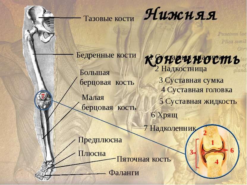 Скелет человека имеет ряд отличий от скелета млекопитающих животных :