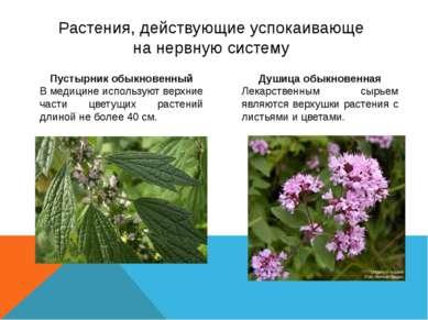 Растения, действующие успокаивающе на нервную систему Пустырник обыкновенный ...