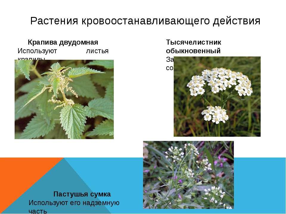 Растения кровоостанавливающего действия Крапива двудомная Используют листья к...