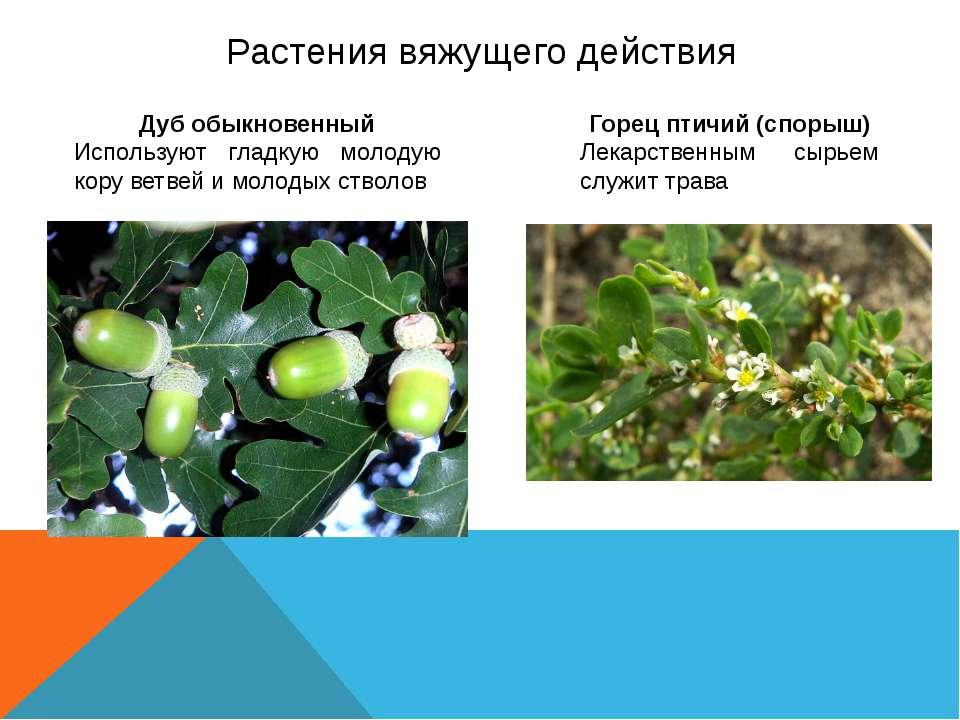 Растения вяжущего действия Дуб обыкновенный Используют гладкую молодую кору в...