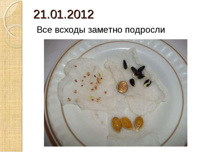 21.01.2012 Все всходы заметно подросли