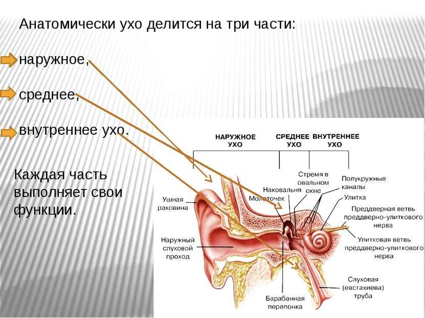 Анатомически ухо делится на три части: наружное, среднее, внутреннее ухо. Каж...
