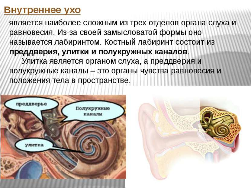 Внутреннее ухо является наиболее сложным из трех отделов органа слуха и равно...