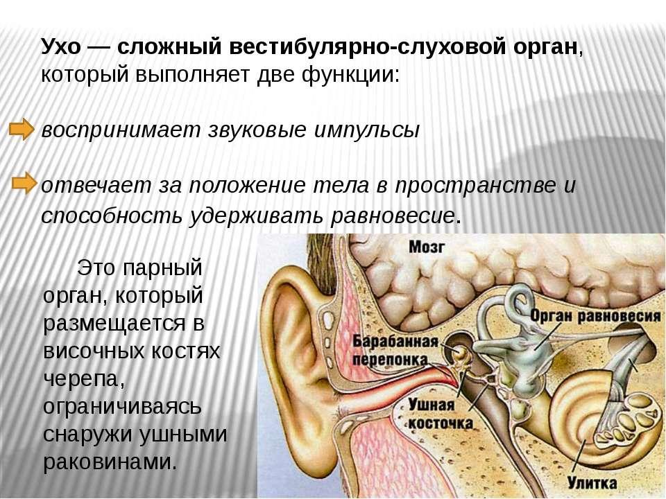 Ухо — сложный вестибулярно-слуховой орган, который выполняет две функции: вос...