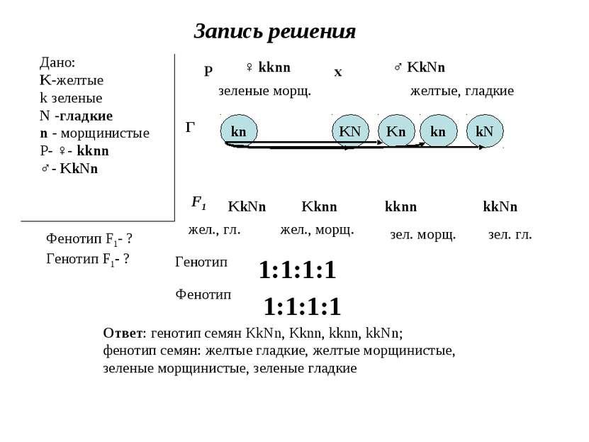 Запись решения Дано: K-желтые k зеленые N -гладкие n - морщинистые Р- ♀- kknn...