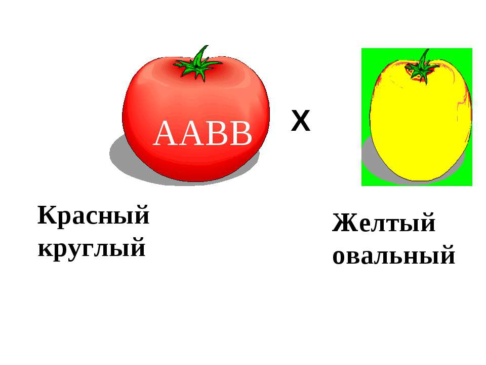 ААВВ аавв Р. ♀ ♂ Х Красный круглый Желтый овальный