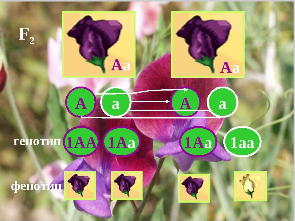 Аа Аа А а а А 1АА 1Аа 1Аа 1аа генотип фенотип F2
