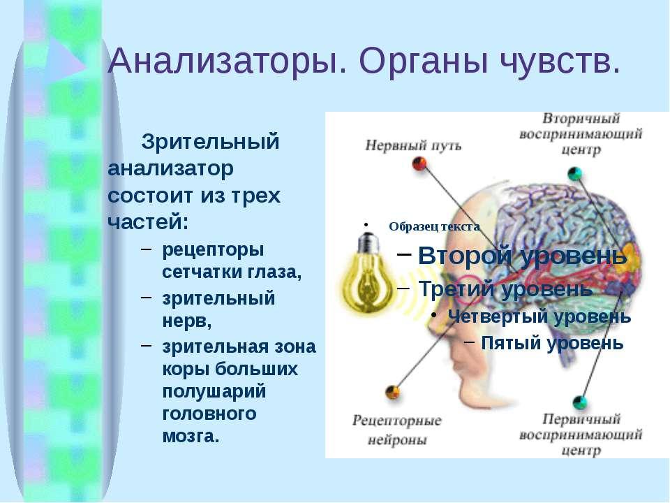 Анализаторы. Органы чувств. Зрительный анализатор состоит из трех частей: рец...
