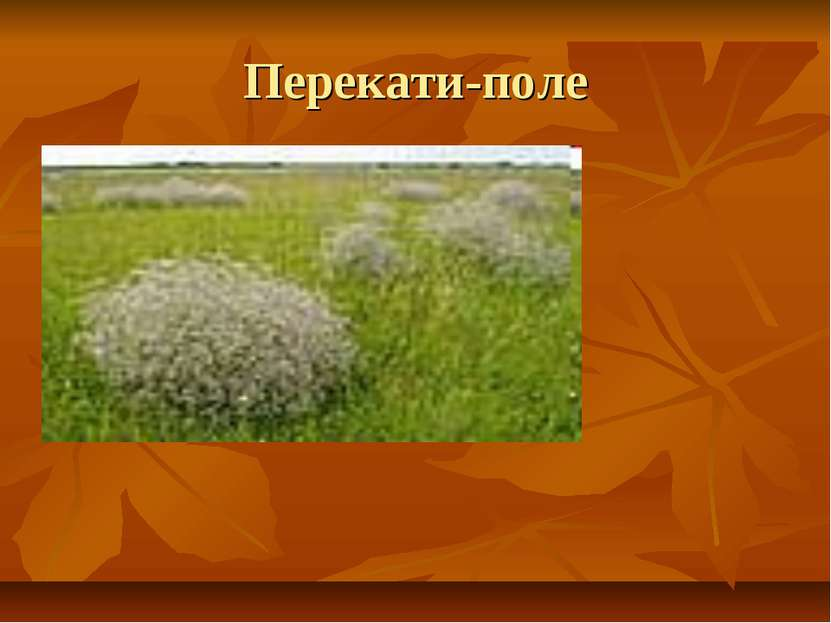 Перекати-поле