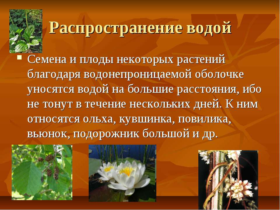 Распространение водой Семена и плоды некоторых растений благодаря водонепрони...