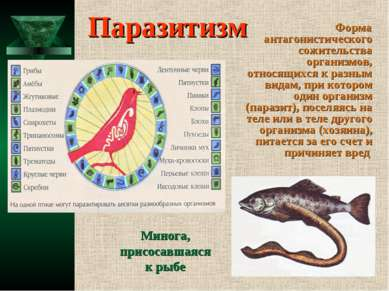 Паразитизм Форма антагонистического сожительства организмов, относящихся к ра...