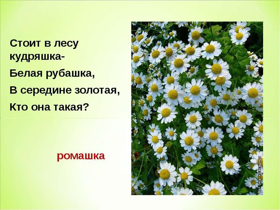 Стоит в лесу кудряшка- Белая рубашка, В середине золотая, Кто она такая? ромашка
