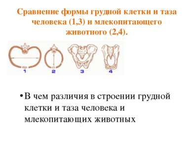 Сравнение формы грудной клетки и таза человека (1,3) и млекопитающего животно...
