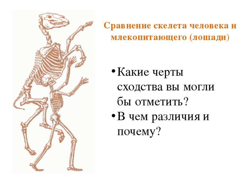 Сравнение скелета человека и млекопитающего (лошади) Какие черты сходства вы ...