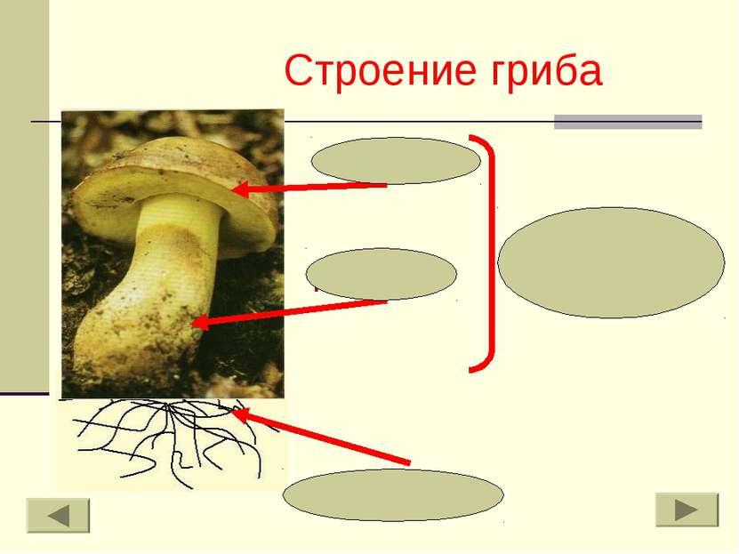 Строение гриба шляпка пенёк плодовое тело грибница