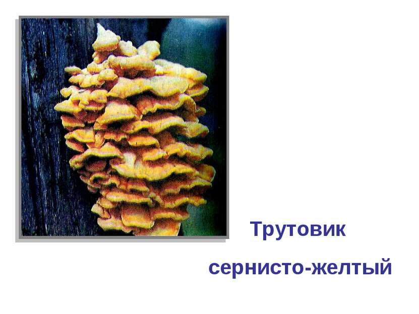 Трутовик сернисто-желтый