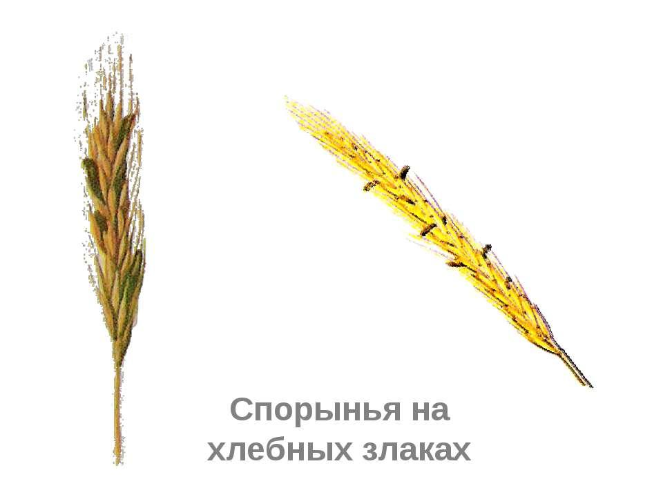 Спорынья на хлебных злаках