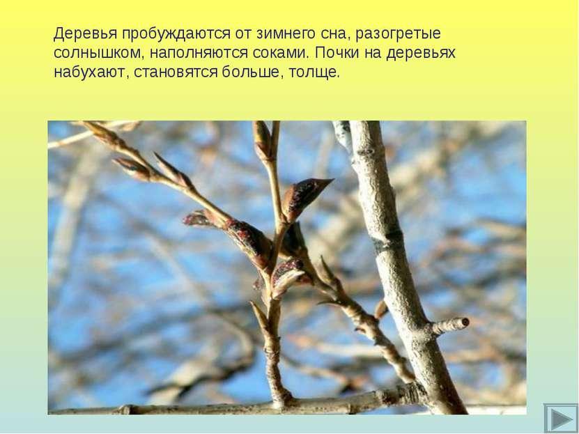 Деревья пробуждаются от зимнего сна, разогретые солнышком, наполняются соками...