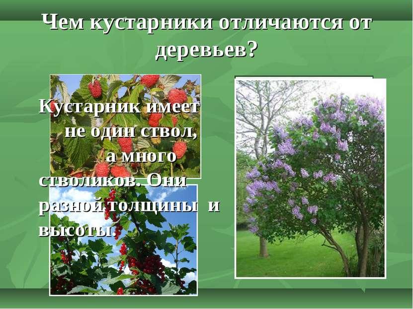 Чем кустарники отличаются от деревьев? Кустарник имеет не один ствол, а много...