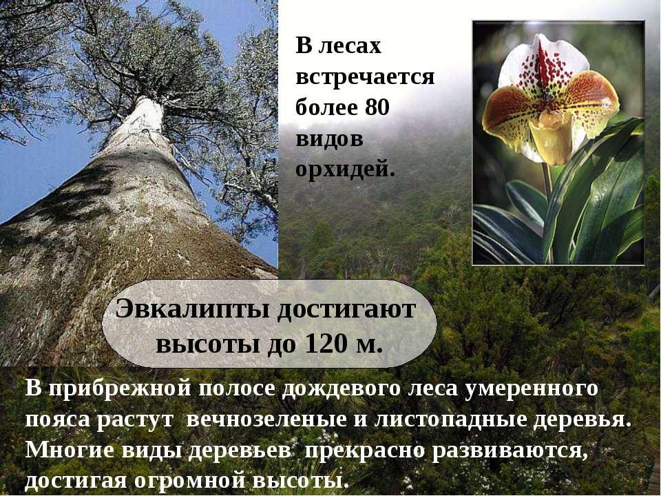 В прибрежной полосе дождевого леса умеренного пояса растут вечнозеленые и лис...