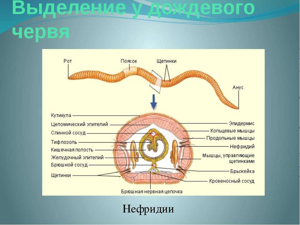 Выделение у дождевого червя Нефридии