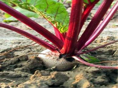 Двулетники - травянистые растения, полный жизненный цикл которого составляет ...