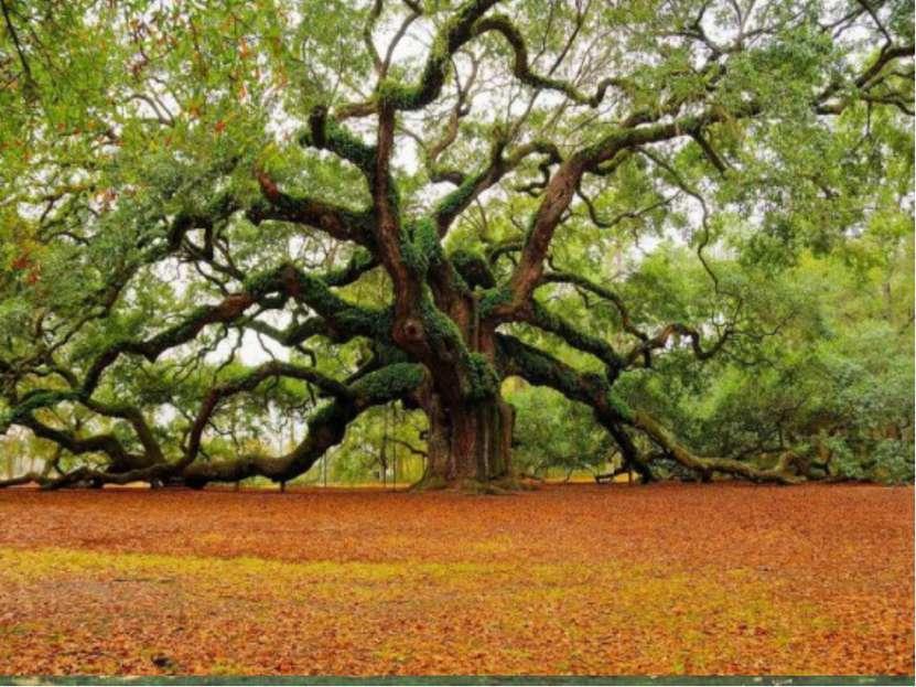 Деревья Де рево — типичная форма деревянистых растений, имеющих ствол, из дре...