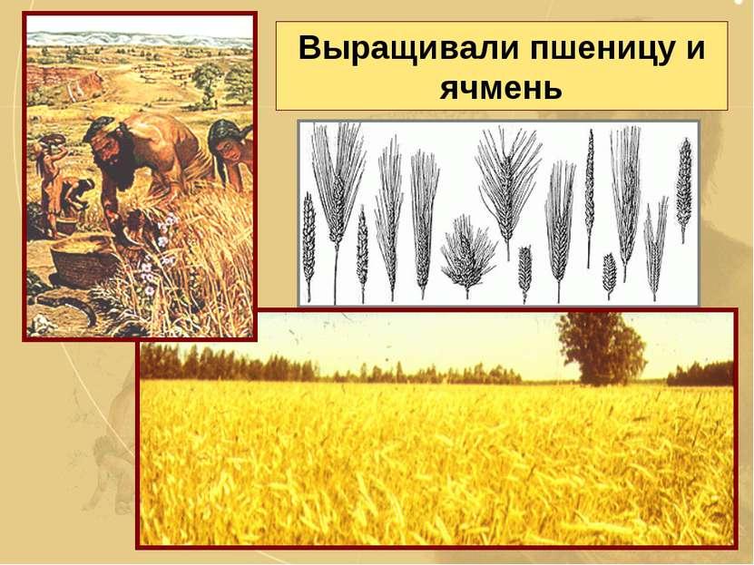 Выращивали пшеницу и ячмень