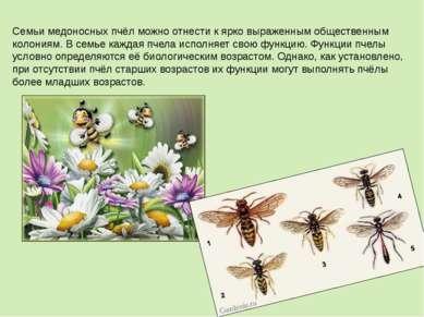 Семьи медоносных пчёл можно отнести к ярко выраженным общественным колониям. ...