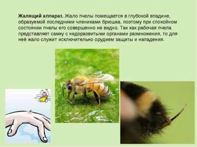 Жалящий аппарат.Жало пчелы помещается в глубокой впадине, образуемой последн...