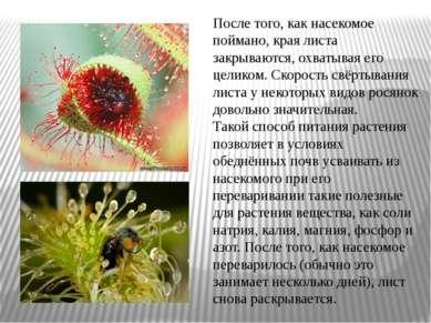 После того, как насекомое поймано, края листа закрываются, охватывая его цели...
