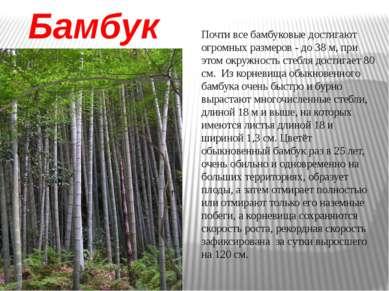 Бамбук Почти все бамбуковые достигают огромных размеров - до 38 м, при этом о...