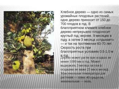Хлебное дерево — одно из самых урожайных плодовых растений; одно дерево прино...