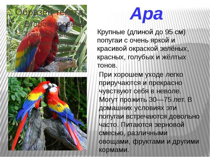 Ара Крупные (длиной до 95 см) попугаи с очень яркой и красивой окраской зелён...